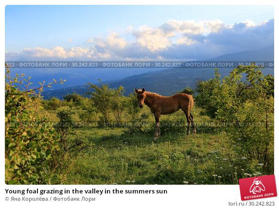 Купить «Young foal grazing in the valley in the summers sun», фото № 30242823, снято 24 июня 2017 г. (c) Яна Королёва / Фотобанк Лори