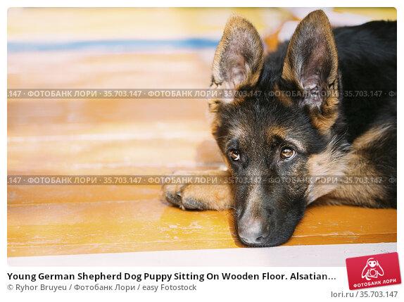 Young German Shepherd Dog Puppy Sitting On Wooden Floor. Alsatian... Стоковое фото, фотограф Ryhor Bruyeu / easy Fotostock / Фотобанк Лори