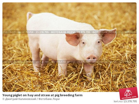 Купить «Young piglet on hay and straw at pig breeding farm», фото № 23378795, снято 23 августа 2012 г. (c) Дмитрий Калиновский / Фотобанк Лори
