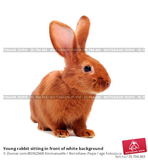 Young rabbit sitting in front of white background. Стоковое фото, фотограф Zoonar.com/BONZAMI Emmanuelle / age Fotostock / Фотобанк Лори