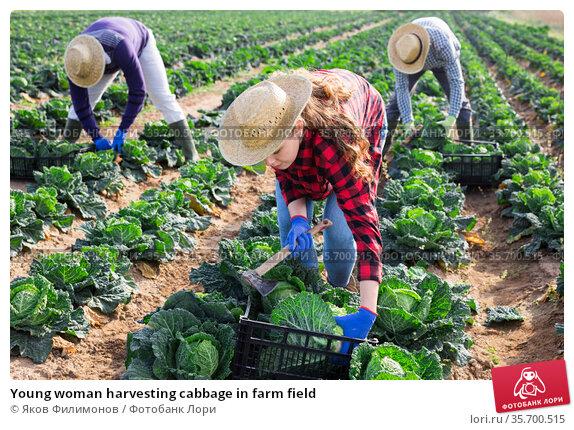 Young woman harvesting cabbage in farm field. Стоковое фото, фотограф Яков Филимонов / Фотобанк Лори
