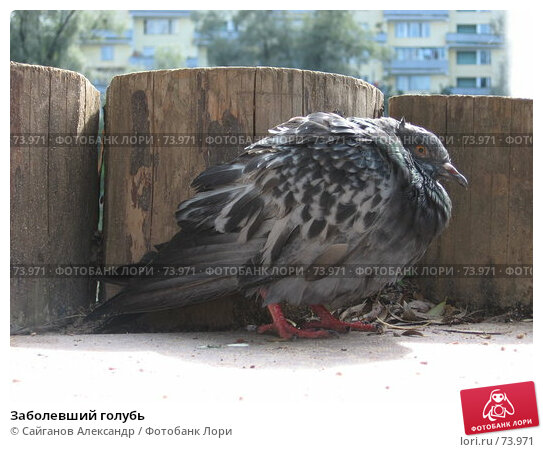Заболевший голубь, эксклюзивное фото № 73971, снято 19 августа 2007 г. (c) Сайганов Александр / Фотобанк Лори