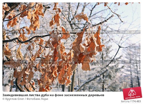 Заиндевевшая листва дуба на фоне заснеженных деревьев, фото № 174483, снято 12 января 2008 г. (c) Круглов Олег / Фотобанк Лори