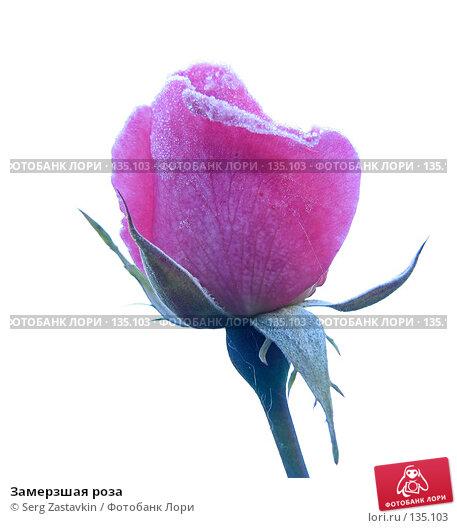 Замерзшая роза, фото № 135103, снято 15 сентября 2005 г. (c) Serg Zastavkin / Фотобанк Лори