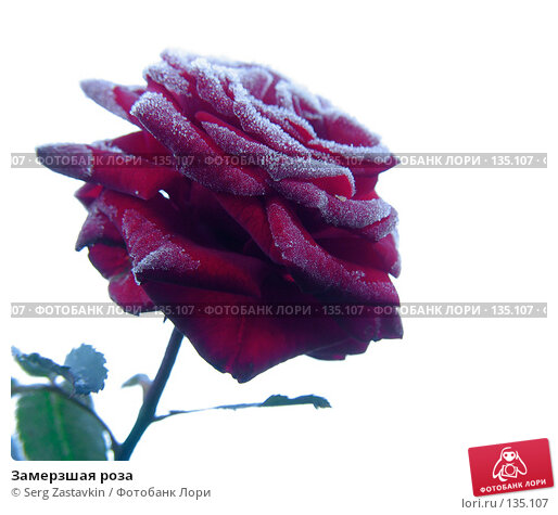 Замерзшая роза, фото № 135107, снято 15 сентября 2005 г. (c) Serg Zastavkin / Фотобанк Лори