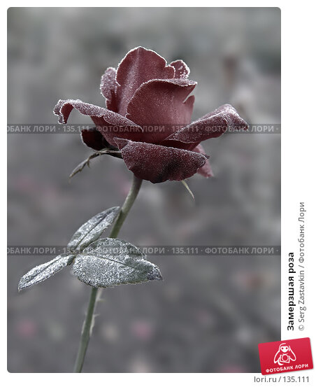 Замерзшая роза, фото № 135111, снято 15 сентября 2005 г. (c) Serg Zastavkin / Фотобанк Лори