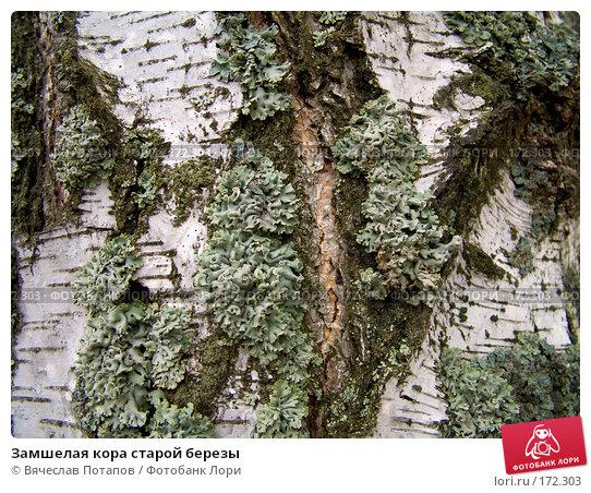 Замшелая кора старой березы, фото № 172303, снято 15 октября 2007 г. (c) Вячеслав Потапов / Фотобанк Лори