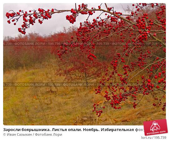 Заросли боярышника. Листья опали. Ноябрь. Избирательная фокусировка, фото № 195739, снято 13 ноября 2004 г. (c) Иван Сазыкин / Фотобанк Лори