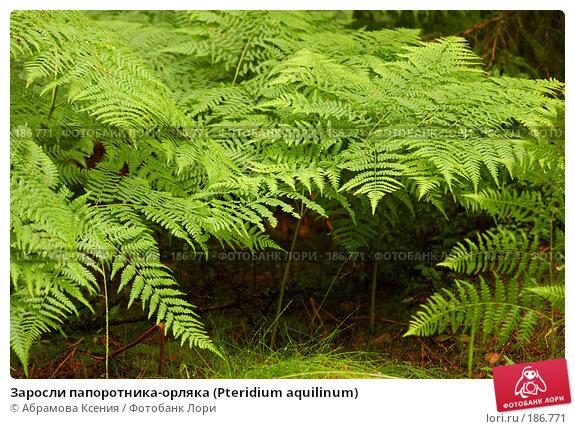 Заросли папоротника-орляка (Pteridium aquilinum), фото № 186771, снято 6 июля 2007 г. (c) Абрамова Ксения / Фотобанк Лори