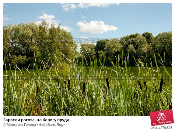 Заросли рогоза  на берегу пруда, фото № 76803, снято 23 июля 2007 г. (c) Моисеева Галина / Фотобанк Лори