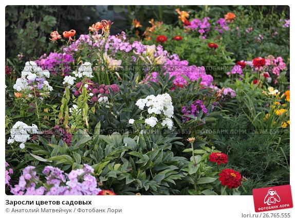 Купить «Заросли цветов садовых», эксклюзивное фото № 26765555, снято 11 августа 2017 г. (c) Анатолий Матвейчук / Фотобанк Лори