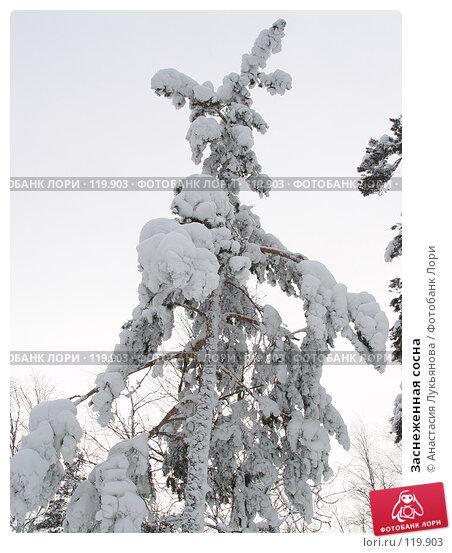 Заснеженная сосна, фото № 119903, снято 5 января 2007 г. (c) Анастасия Лукьянова / Фотобанк Лори