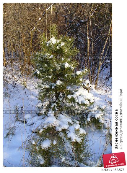 Заснеженная сосна, фото № 132575, снято 25 ноября 2007 г. (c) Сергей Девяткин / Фотобанк Лори