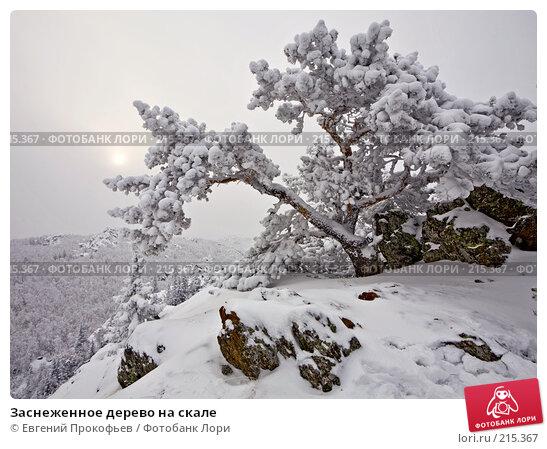 Заснеженное дерево на скале, фото № 215367, снято 23 декабря 2007 г. (c) Евгений Прокофьев / Фотобанк Лори