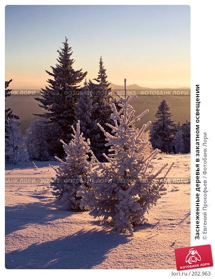 Купить «Заснеженные деревья в закатном освещении», фото № 202963, снято 8 января 2008 г. (c) Евгений Прокофьев / Фотобанк Лори