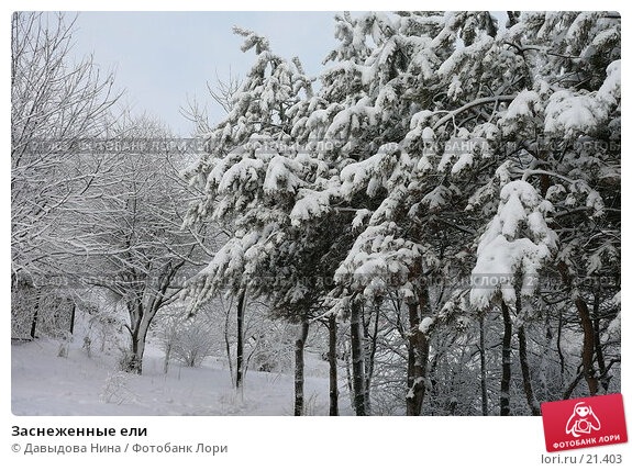 Заснеженные ели, фото № 21403, снято 31 января 2007 г. (c) Давыдова Нина / Фотобанк Лори