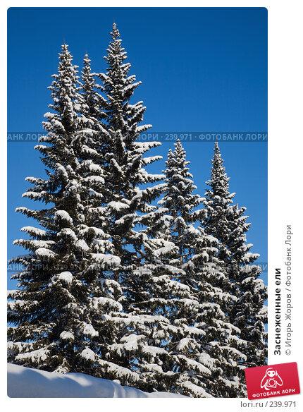 Заснеженные ели, фото № 239971, снято 20 февраля 2008 г. (c) Игорь Жоров / Фотобанк Лори