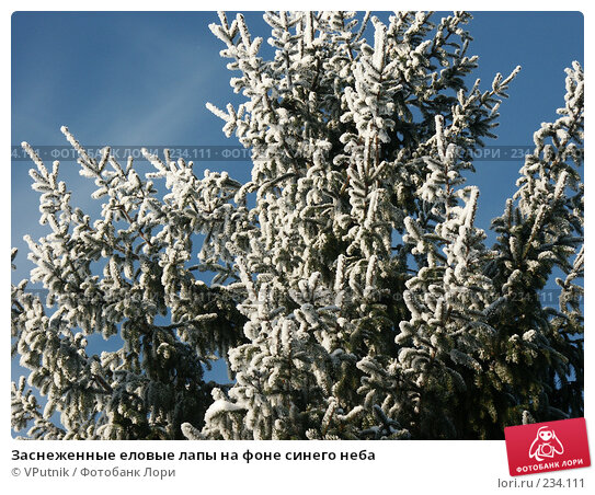 Купить «Заснеженные еловые лапы на фоне синего неба», фото № 234111, снято 30 ноября 2004 г. (c) VPutnik / Фотобанк Лори