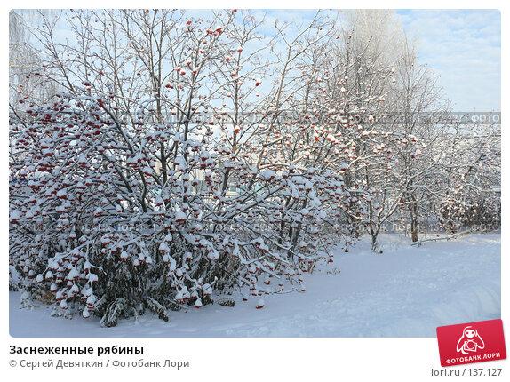 Заснеженные рябины, фото № 137127, снято 4 декабря 2007 г. (c) Сергей Девяткин / Фотобанк Лори