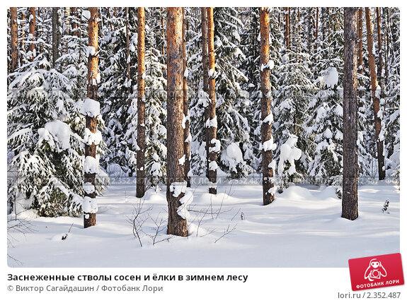 Купить «Заснеженные стволы сосен и ёлки в зимнем лесу», фото № 2352487, снято 11 февраля 2011 г. (c) Виктор Сагайдашин / Фотобанк Лори