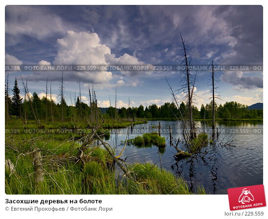 Засохшие деревья на болоте, фото № 229559, снято 27 марта 2017 г. (c) Евгений Прокофьев / Фотобанк Лори