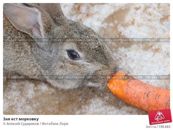 Зая ест морковку, фото № 199683, снято 10 февраля 2008 г. (c) Алексей Судариков / Фотобанк Лори