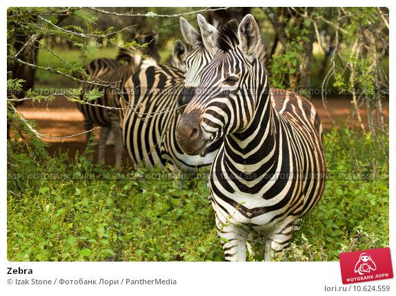 Zebra. Стоковое фото, фотограф Izak Stone / PantherMedia / Фотобанк Лори