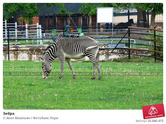 Купить «Зебра», фото № 25886415, снято 30 мая 2006 г. (c) Акоп Васильян / Фотобанк Лори