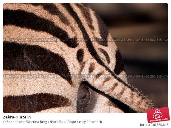 Zebra-Hintern. Стоковое фото, фотограф Zoonar.com/Martina Berg / easy Fotostock / Фотобанк Лори