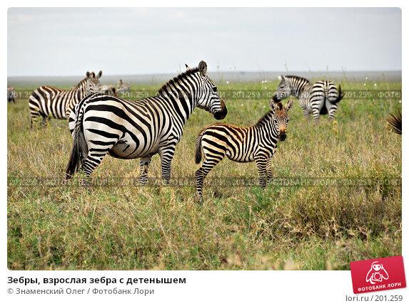 Зебры, взрослая зебра с детенышем, фото № 201259, снято 22 января 2008 г. (c) Знаменский Олег / Фотобанк Лори