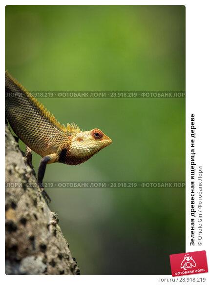Купить «Зеленая древесная ящерица не дереве», фото № 28918219, снято 20 апреля 2018 г. (c) Oriole Gin / Фотобанк Лори