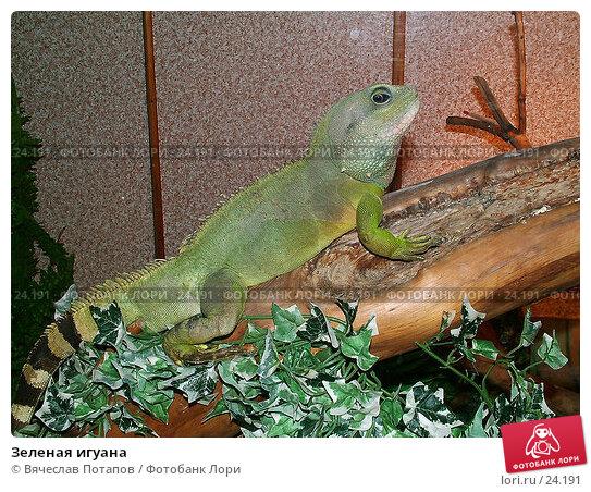 Зеленая игуана, фото № 24191, снято 20 марта 2004 г. (c) Вячеслав Потапов / Фотобанк Лори