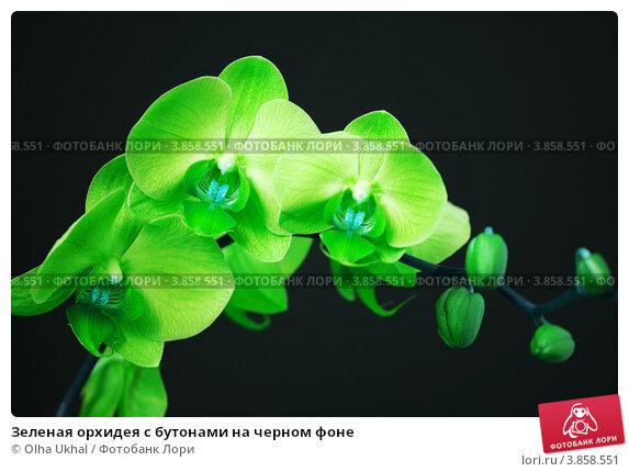 салатовая орхидея фото