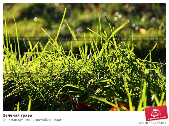 Зеленая трава. Стоковое фото, фотограф Роман Кузьмин / Фотобанк Лори