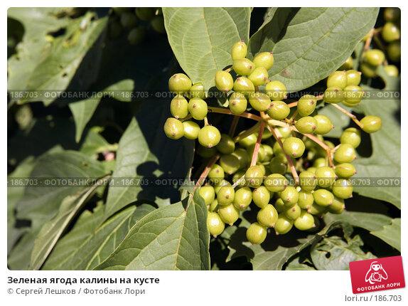 Купить «Зеленая ягода калины на кусте», фото № 186703, снято 28 июля 2007 г. (c) Сергей Лешков / Фотобанк Лори