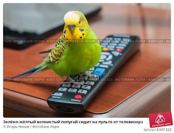 Купить «Зелёно-жёлтый волнистый попугай сидит на пульте от телевизора», эксклюзивное фото № 4507523, снято 1 апреля 2013 г. (c) Игорь Низов / Фотобанк Лори