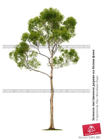 Купить «Зеленое лиственное дерево на белом фоне», фото № 3651355, снято 5 мая 2011 г. (c) Кропотов Лев / Фотобанк Лори
