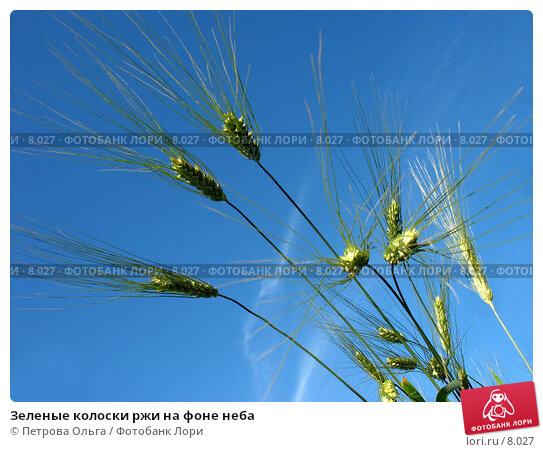 Купить «Зеленые колоски ржи на фоне неба», фото № 8027, снято 7 июля 2006 г. (c) Петрова Ольга / Фотобанк Лори