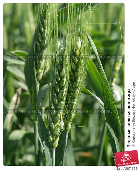 Зеленые колосья пшеницы, фото № 297675, снято 20 августа 2017 г. (c) Константин Босов / Фотобанк Лори