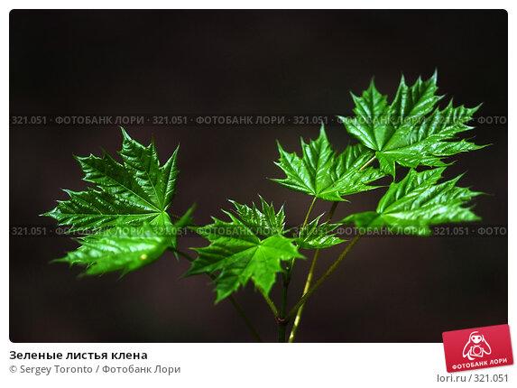Зеленые листья клена, фото № 321051, снято 2 мая 2008 г. (c) Sergey Toronto / Фотобанк Лори