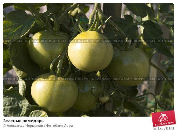 Зеленые помидоры, фото № 5543, снято 17 июля 2006 г. (c) Александр Чермянин / Фотобанк Лори