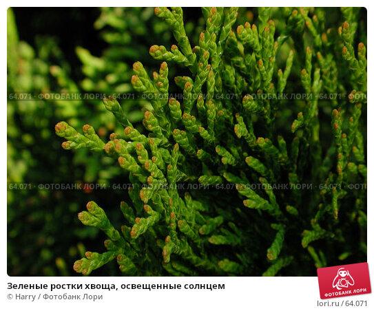Зеленые ростки хвоща, освещенные солнцем, фото № 64071, снято 2 мая 2004 г. (c) Harry / Фотобанк Лори