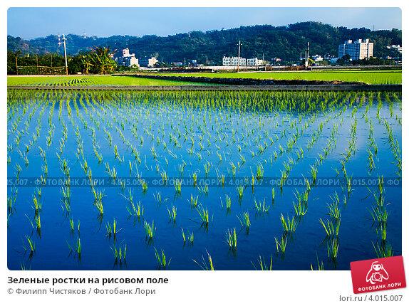 Зеленые ростки на рисовом поле (2010 год). Стоковое фото, фотограф Филипп Чистяков / Фотобанк Лори