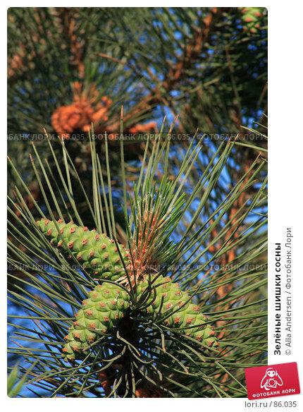 Зелёные шишки, фото № 86035, снято 3 июня 2007 г. (c) Alla Andersen / Фотобанк Лори
