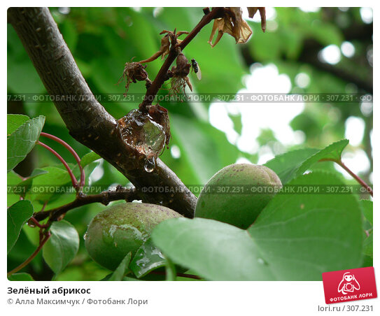 Зелёный абрикос, фото № 307231, снято 11 мая 2008 г. (c) Алла Максимчук / Фотобанк Лори