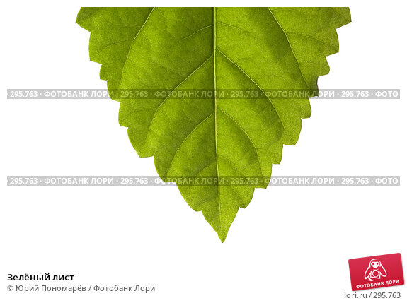 Зелёный лист, фото № 295763, снято 8 апреля 2008 г. (c) Юрий Пономарёв / Фотобанк Лори