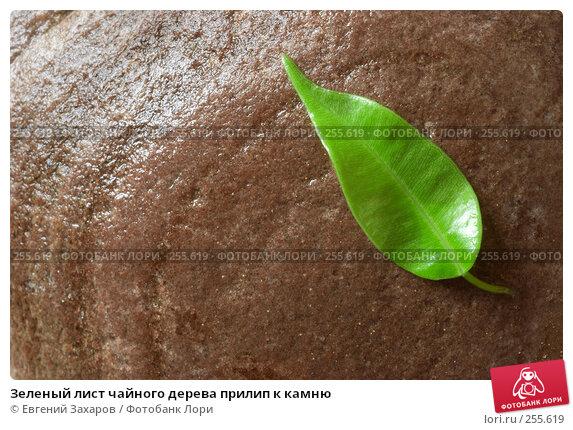 Зеленый лист чайного дерева прилип к камню, фото № 255619, снято 18 апреля 2008 г. (c) Евгений Захаров / Фотобанк Лори