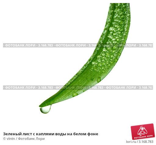 Зеленый лист с каплями воды на белом фоне. Стоковое фото, фотограф vlntn / Фотобанк Лори