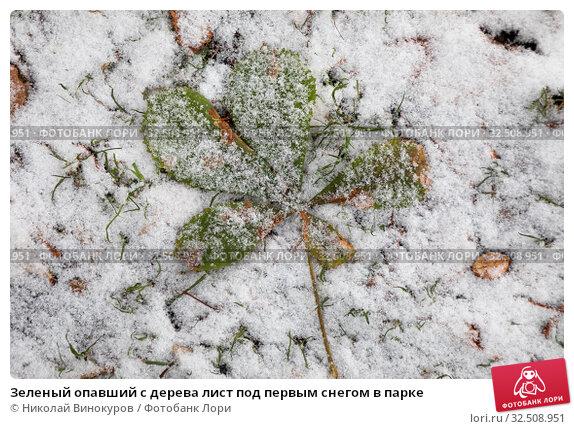 Купить «Зеленый опавший с дерева лист под первым снегом в парке», фото № 32508951, снято 1 ноября 2019 г. (c) Николай Винокуров / Фотобанк Лори