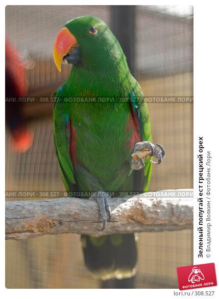 Зеленый попугай ест грецкий орех, фото № 308527, снято 17 мая 2008 г. (c) Владимир Воякин / Фотобанк Лори